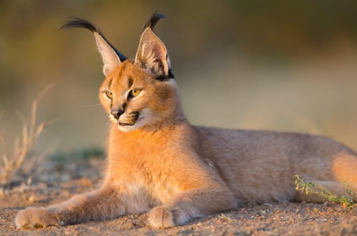 female caracal in south africa