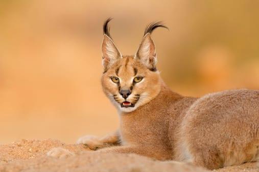 Female caracal