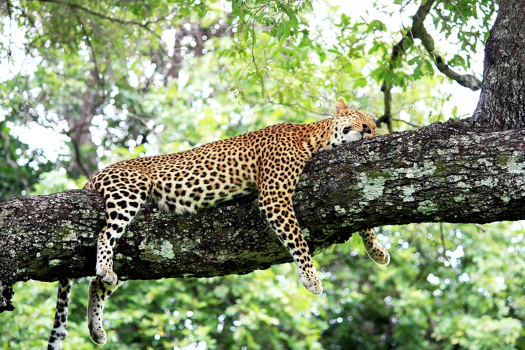 fall in love with big cats when you visit africa: leopard