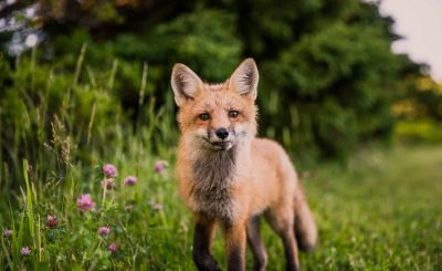 red fox in germany