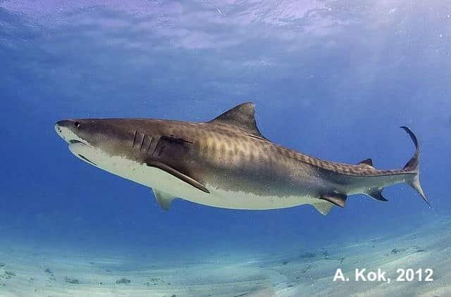 tiger shark dives