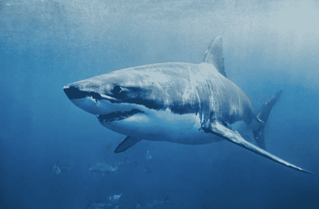 where to dive with great white