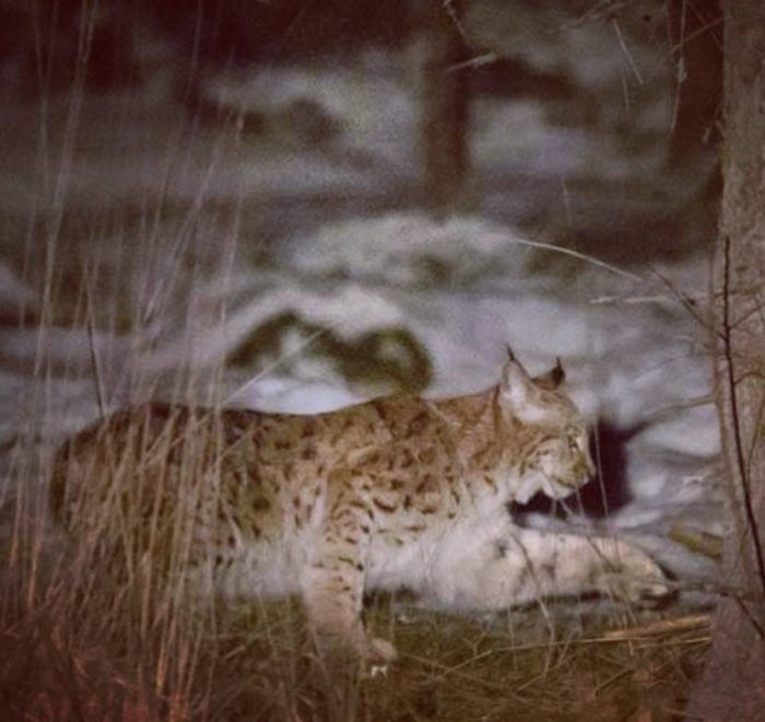 wild sweden adventure winter lynx