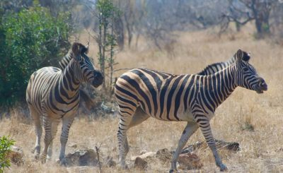 Zebras in the Kruger
