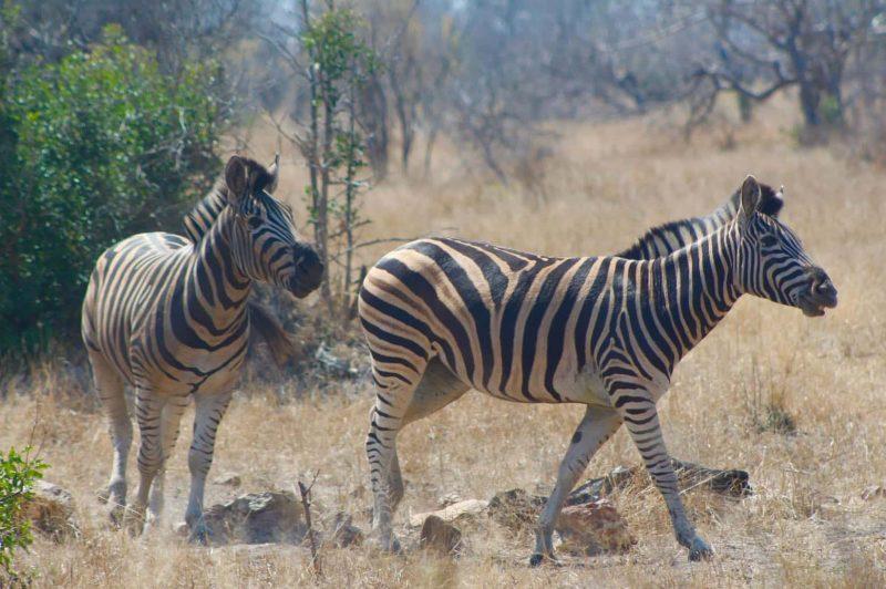 Zebras in the Kruger