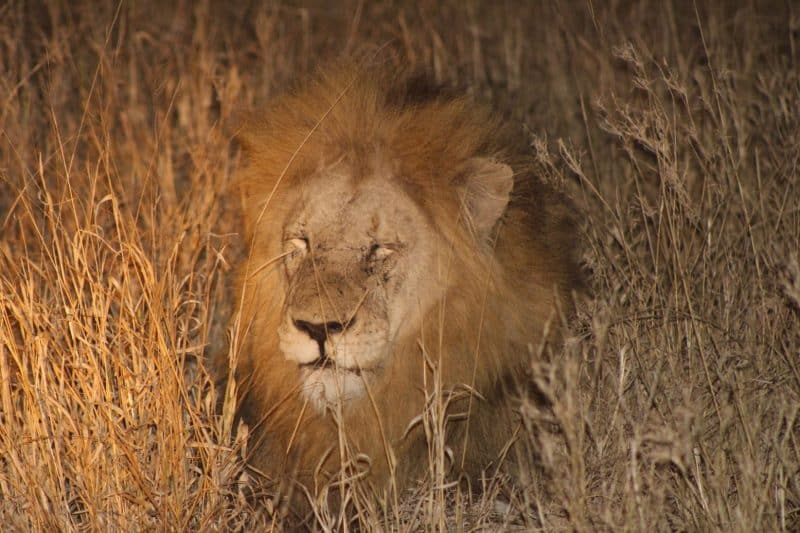 Lion in the Kruger