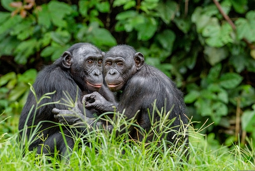 Bonobos in natural habitat