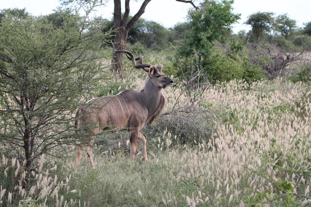 Kudu Männlich