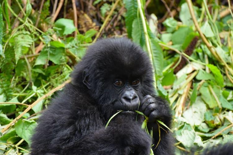 primates bebés de gorila
