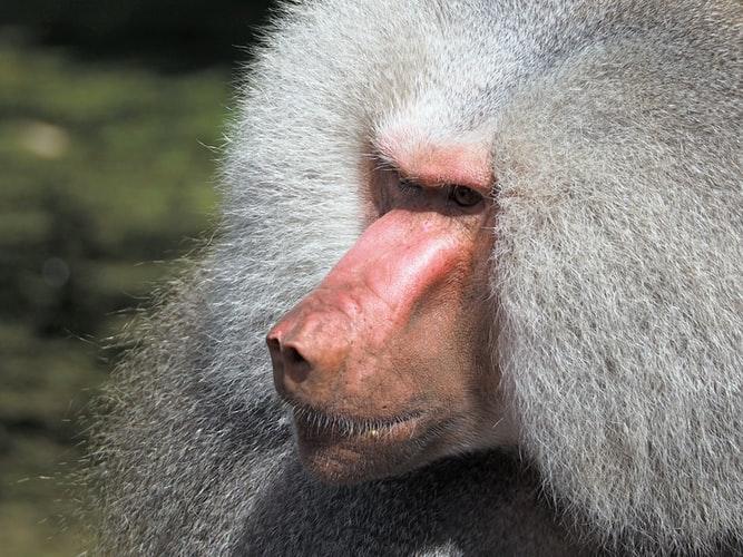 Los primates babuinos Hamadryas