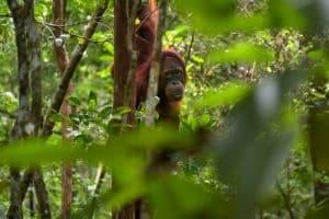 cuadro del orangután