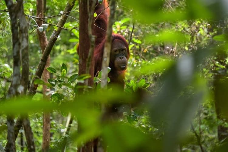 primates orangutanes