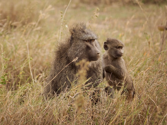Los primates babuinos del Cabo Chacma