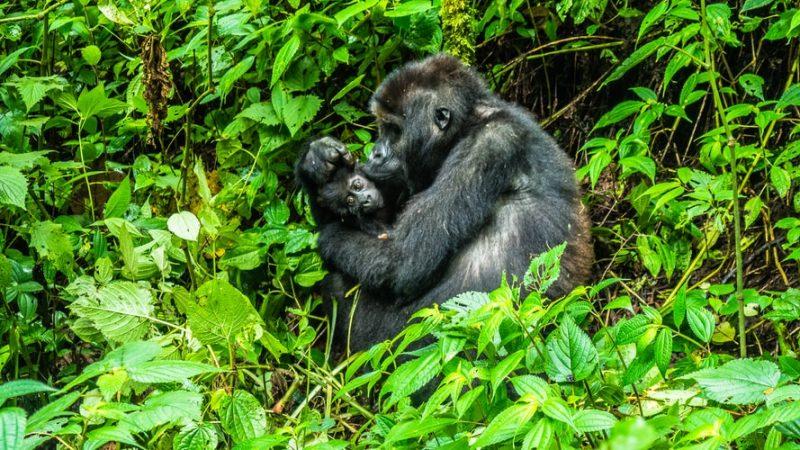 primates de la familia de los gorilas