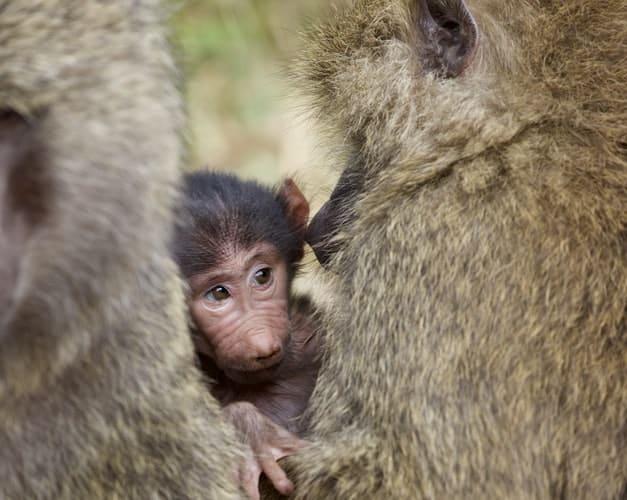 yellow baboon primates