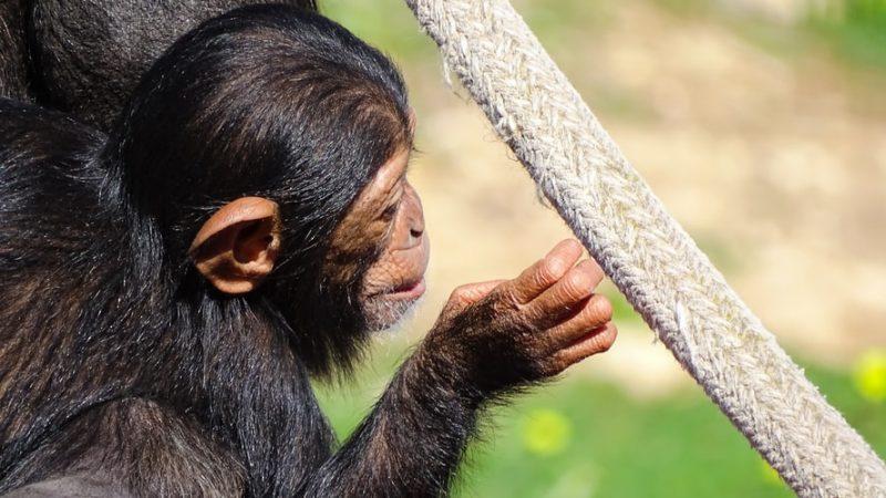 chimpanzee primates
