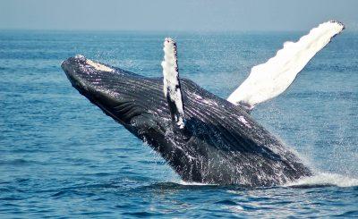 humpbackwhale jump