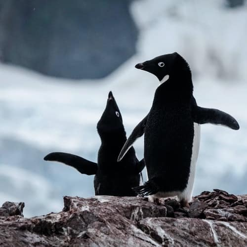 where to see penguins Adelie