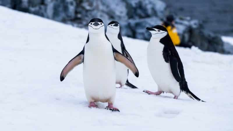 where to see penguins in the arctic