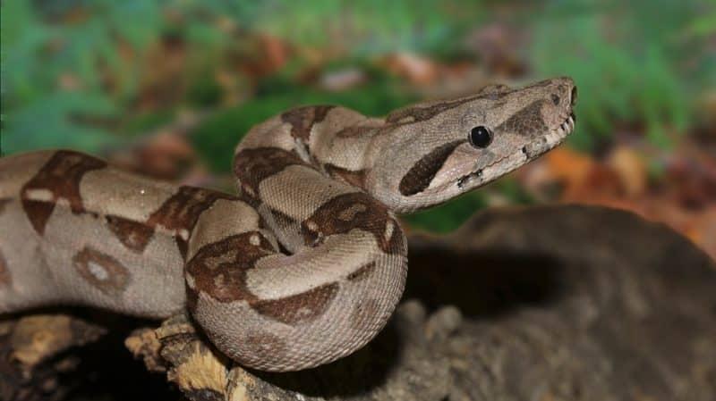 garden tree boa constrictor snakes