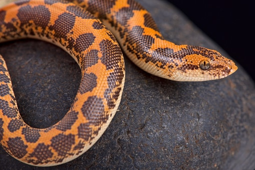 sand boa constrictor snakes