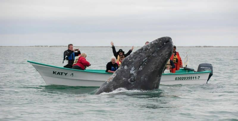 where to see grey whales who are the friendliest whales