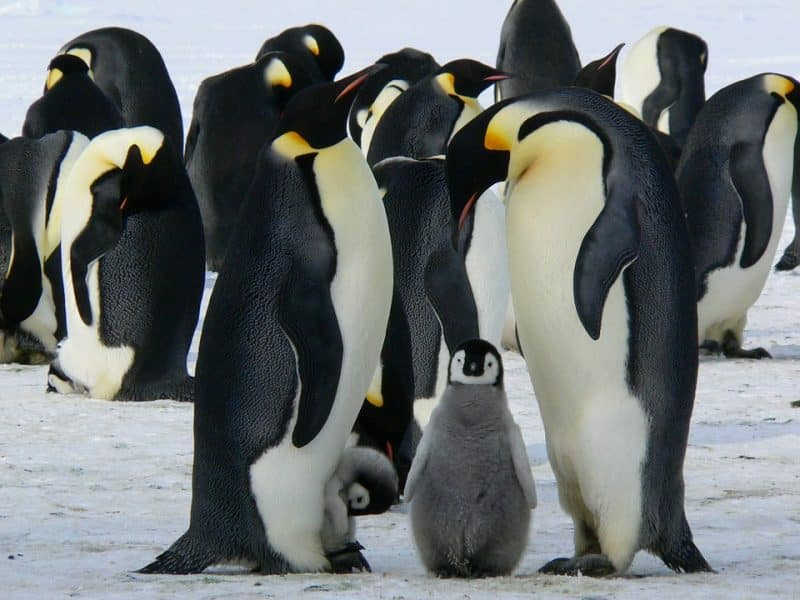 where to see penguins king and emperor antarctic