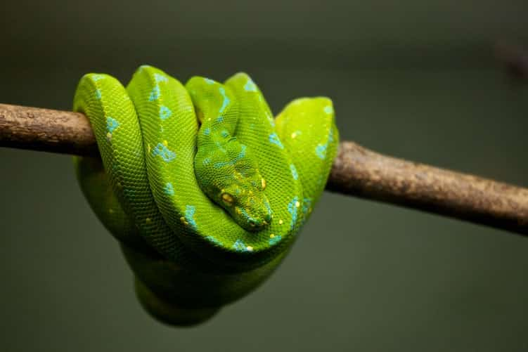 emerald tree boa constrictor snakes
