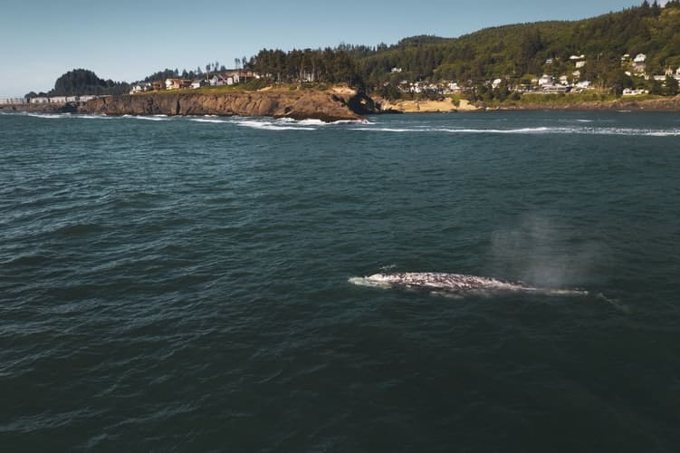 where to see gray whales in oregon