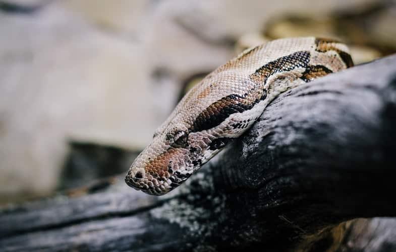 anaconda boa constrictor snakes
