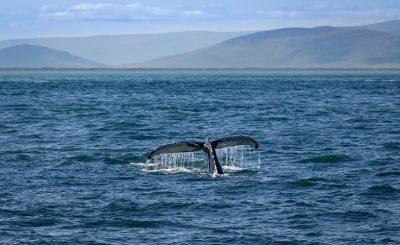 fin whale ocean
