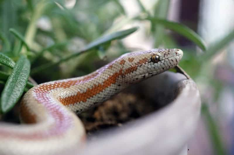 rosy boa constrictor snakes