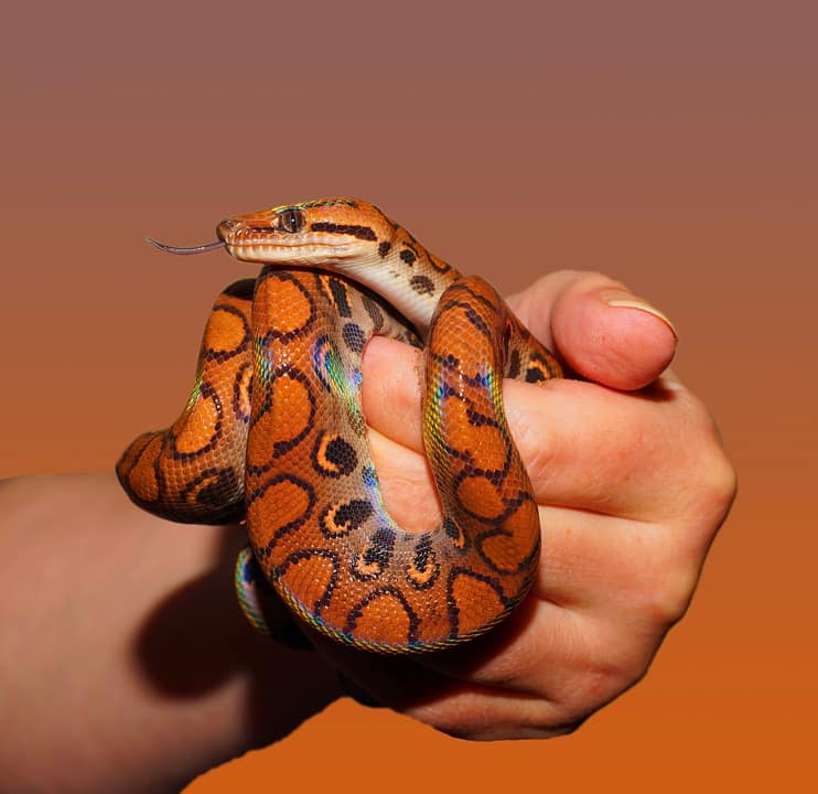 boa constrictor snakes as pets