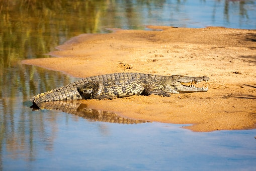 wo man Krokodile in freier Wildbahn sehen kann; Kruger-Nationalpark