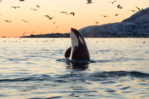 killer whale in norway