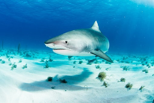 pictures of tiger sharks