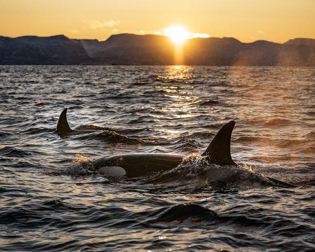 orcas in norwegen