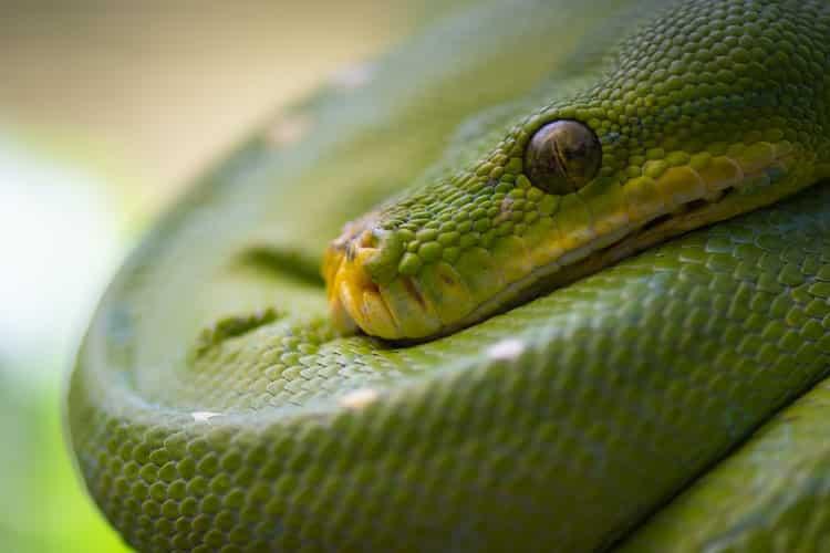 boa snake reptiles