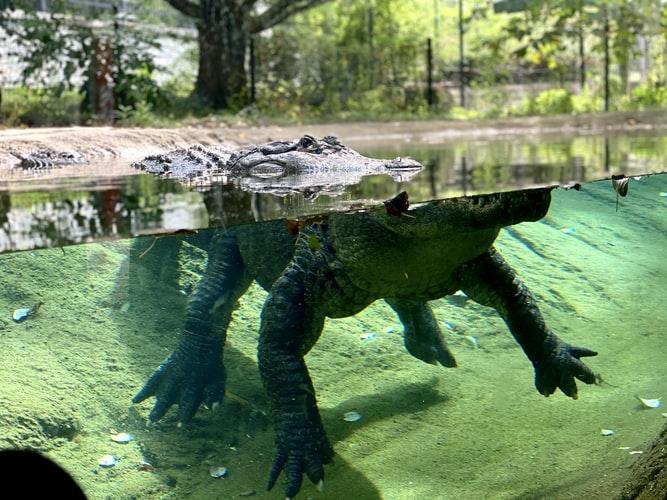 fresh water crocodile in australia