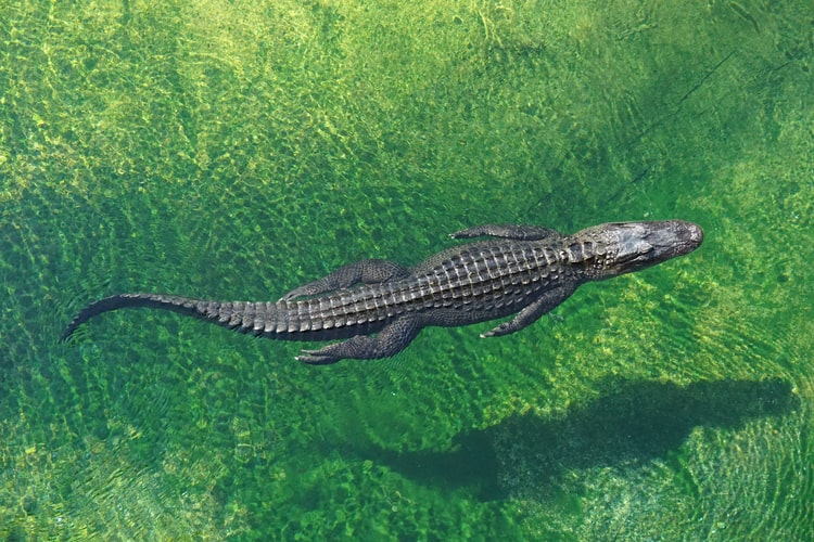 crocodile swimming from above