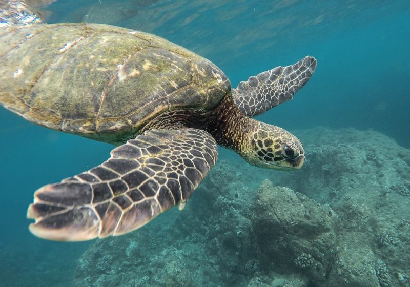 reptiles: sea turtles