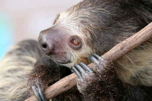 sloths in the wild