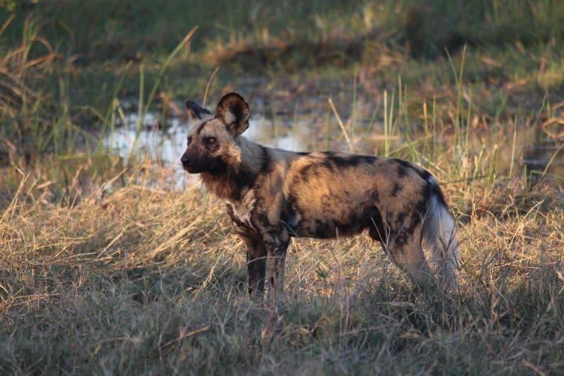 Perros salvajes africanos