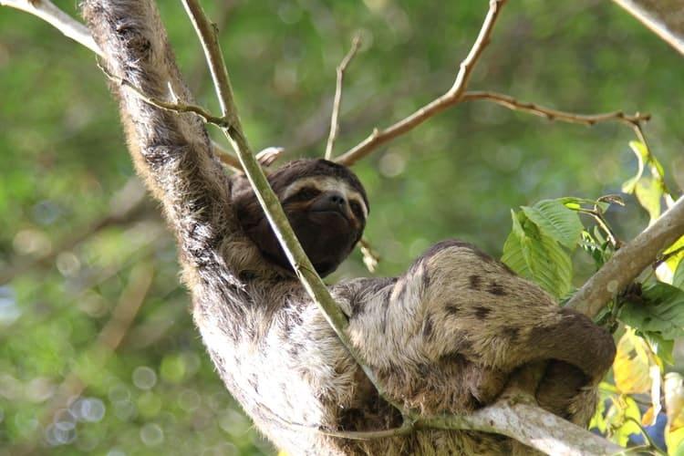 los perezosos en la naturaleza