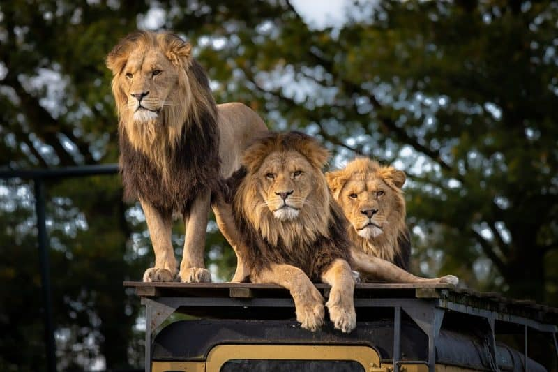 Löwenspaziergang-Safari