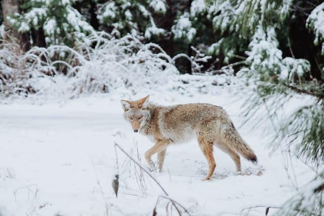 Kojoten