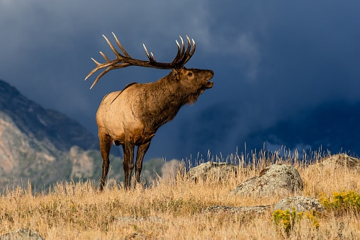 bull elk Where to see wildlife in the US: