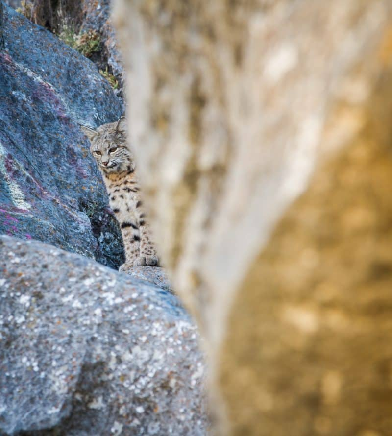 Bobcat in Wyoming