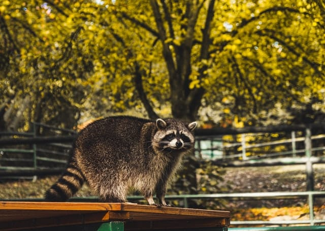 Racoons in New York State