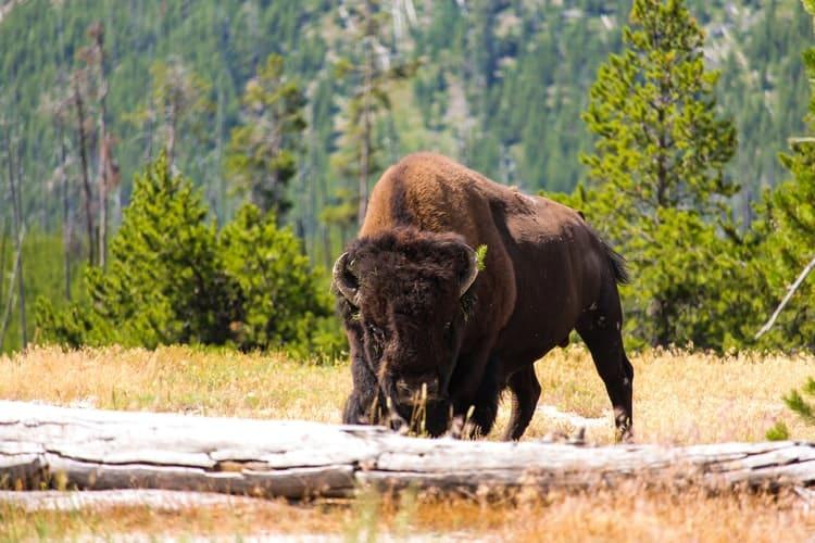 bisonte en alaska